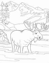 Moose Coloring Pages Printable Animal Adult Drawings Colouring Cool Sheets Yellowstone Drawing Landschaft Malvorlagen Books Whitesbelfast Dandelion Supercoloring Plakat Heute sketch template