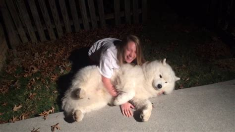 Stubborn Samoyed Trying To Get Cody In From The Cold At
