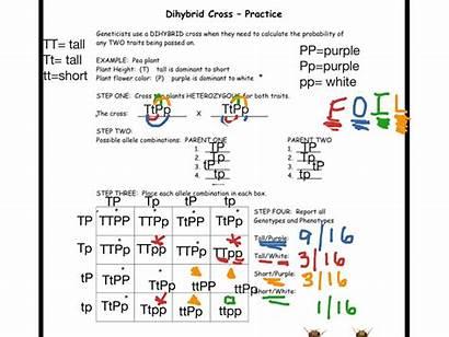 Dihybrid Cross Example Showme