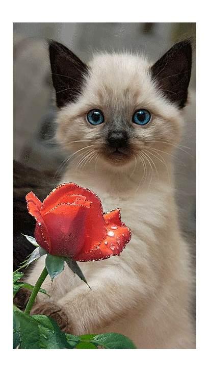 Siamese Cat Cats Kittens Kitty Gifs Dog