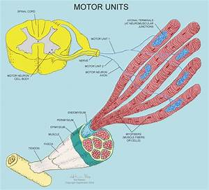 Motor Unit Definition Physiology