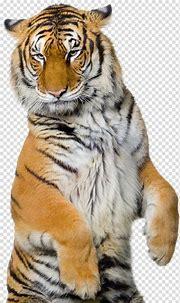 Tiger illustration, Siberian Tiger Sumatran tiger Bengal ...