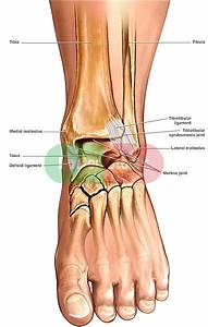 Normal Anatomy Of The Ankle