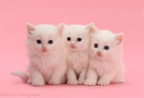 Kitten Background Three White Kittens On Pink Background Photo Wp39879