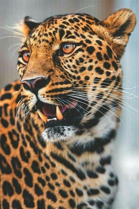 jaguar cat fantastic leopard pictures photos and images for