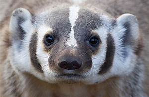 American Badger | It was a great spring for badger ...