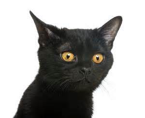 bombay cat the bombay cat cat breeds encyclopedia