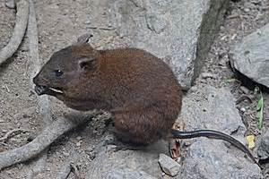 musky rat kangaroo wikipedia