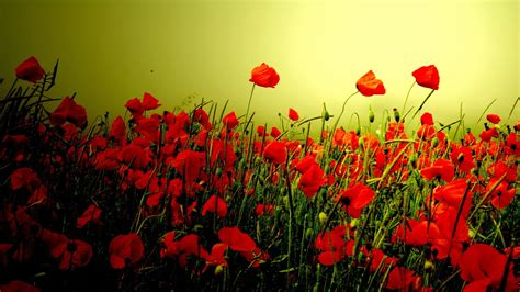 poppy hd wallpaper background image  id