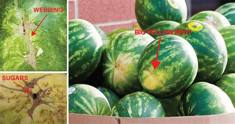 tricks  picking  perfect watermelon  time