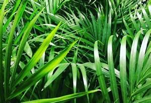 Phoenix Canariensis Entretien : trachycarpus fortunei palmier de chine entretien arrosage qamp ~ Melissatoandfro.com Idées de Décoration