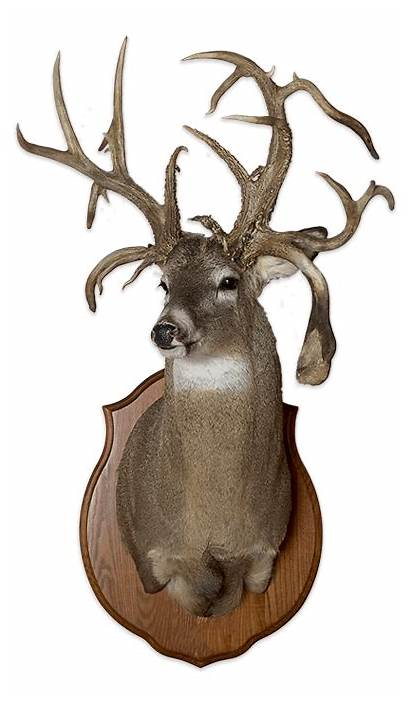 Deer Aging Whitetail Teeth Take Guessing Tail