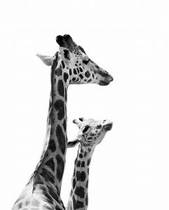 Giraffe Photo - Baby and Mother Giraffe - 8x10 Black and ...