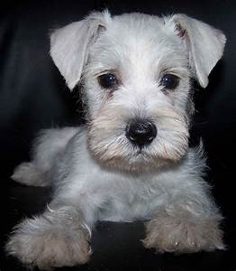 Cute Puppy Dogs: White Miniature Schnauzer Puppies
