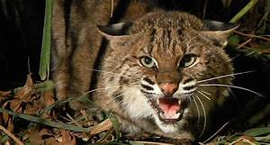 Bobcat Tries To Make A Meal Of Turkey Hunter