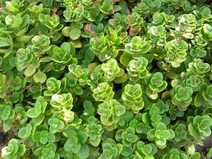 Crassula multicava (Fairy Crassula) | World of Succulents