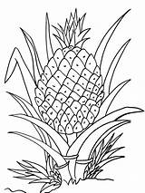 Coloring Pineapple Printable Plant Clipart Cartoon Fruits Cool2bkids Drawing Fruit Pineapples Line Clipground Getdrawings Awesome Vegetables Vegetable Recommended Ananas Juicy sketch template