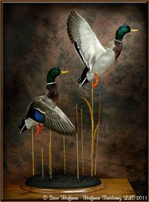 Flying Mallard Duck Taxidermy Mounts