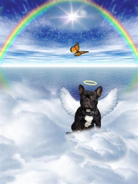 boston terrier angel pictures   images