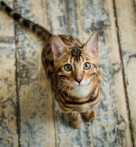 Bengal Cat Names  200 Ideas For Naming Your Kitten