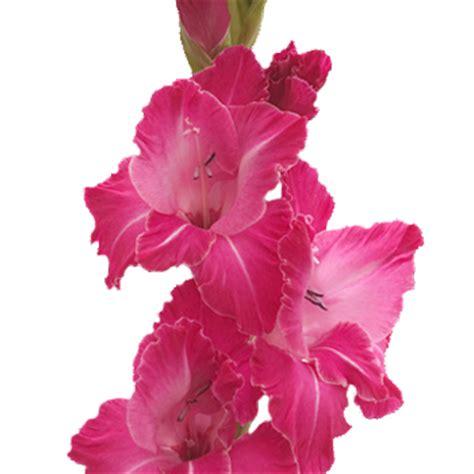 gladiolus hot pink flower