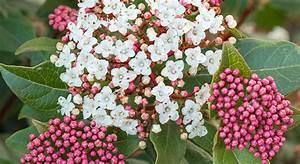 Laurier Tin : laurier tin mon jardin ma maison ~ Mglfilm.com Idées de Décoration