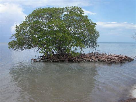 Filemangrove Auf Cayo Levisa, Kubajpg  Wikimedia Commons