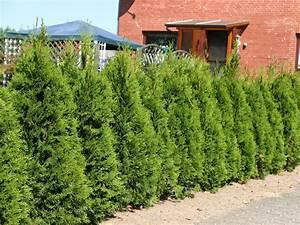 Thuja Hecke Schneiden Doch Wieviel : lebensbaum 39 smaragd 39 thuja occidentalis 39 smaragd ~ Lizthompson.info Haus und Dekorationen
