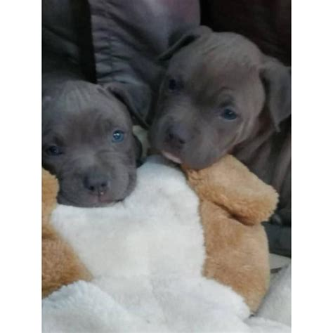 Nose Pits For Sale In Michigan by Blue Nose Pitbull Puppies For Sale In Los Angeles