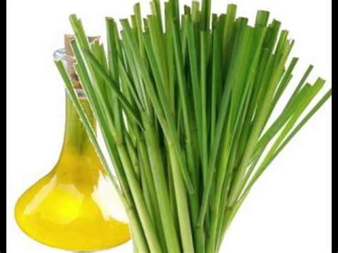 lemongrass oil benefits youtube