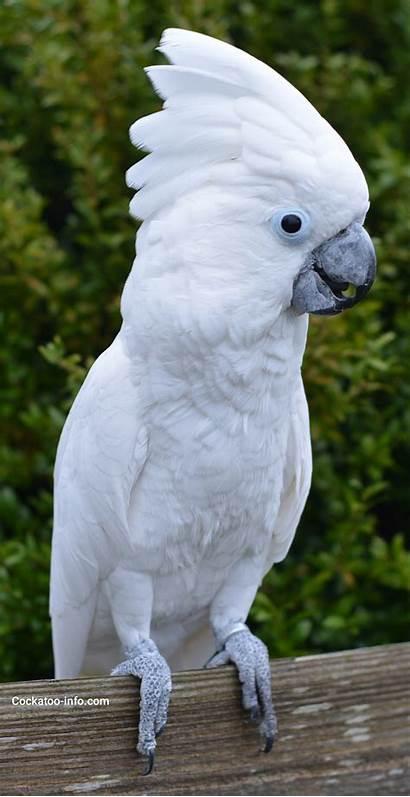 Cockatoo Parrot Cockatoos Bird Birds Pet Disease