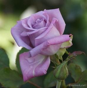 Mainzer Fastnacht Rose : 88 best images on pinterest flower flowers and roses ~ Orissabook.com Haus und Dekorationen
