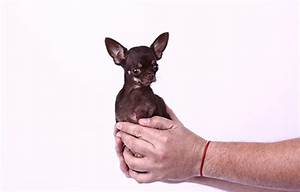 Video: Meet Miracle Milly - the world's smallest dog ...