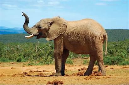 Elephant African Savanna Africana Loxodonta Animal Mammal