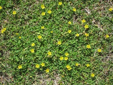 bodendecker gelb blühend begehbare bodendecker rasenersatz hornfr 252 chtige sauerklee