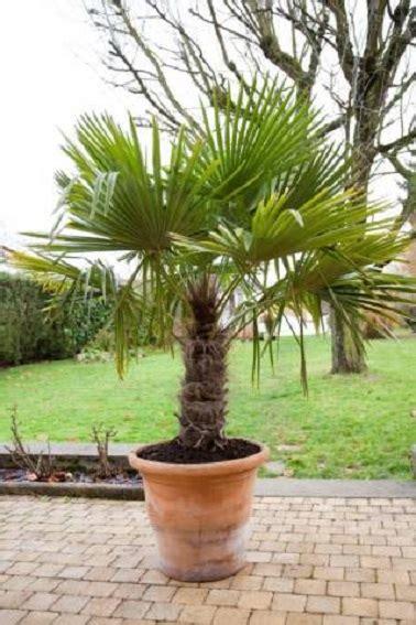 type de palmier exterieur prot 233 ger un palmier comment l abriter des gel 233 es