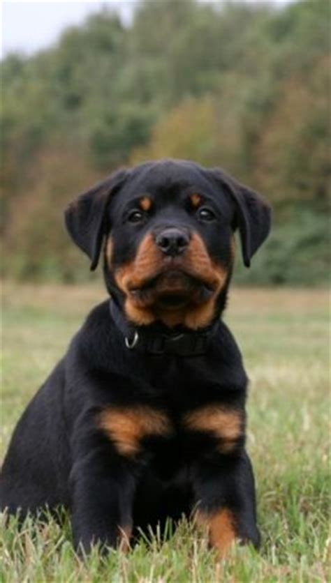 images  sweet rottweiler puppies