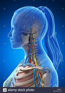 Female Anatomy Diagram Stock Photos  U0026 Female Anatomy Diagram Stock Images