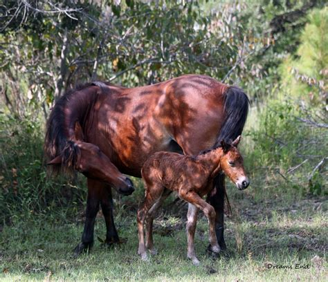 wild horse carolina north horses foal born herd filly corolla nc dangerous being taking herald bellingham selfies cathy thursday aug
