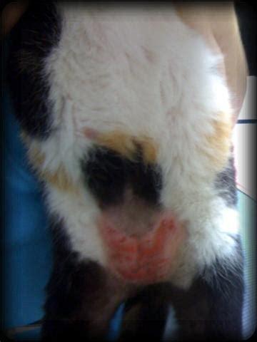 cat bald belly cat belly rash virtuavet