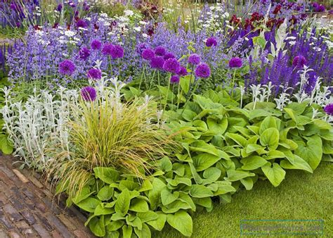 alliums in a chelsea show garden with phlomis catmint