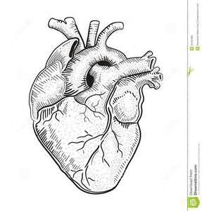 wallpapers images  pour coeur organe dessin