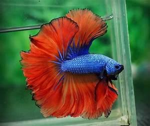 Halfmoon Betta Fish - About Betta Fish Tanks - Betta Fish ...