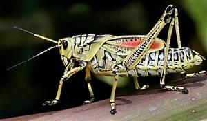 Grasshopper - Facts, Diet & Habitat Information