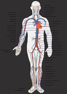 How Open Vs Closed Circulatory Systems Function