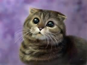 Cat Scottish Fold Kitten