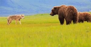Alaska Grizzly Bear Tour Katmai Adventure Travel