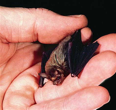 kitti s hog nosed bat endangered species critically