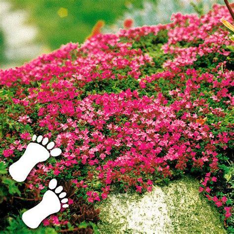 Anspruchslose Garten Pflanzen by Polsterthymian Outdoor Bodendecker Garten Und Garten