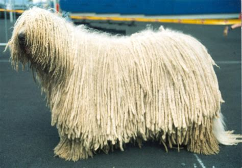 komondor pictures wallpapers